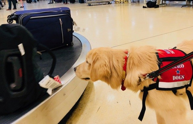 service dog is familiarized with baggage claim carousel
